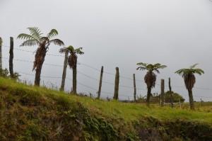 Fruchtbarer Boden: Zaunpfähle entwickeln sich zu Baumfarnen