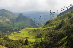 Bis zu 65 m hohe Wachspalmen im Valle de Cocora