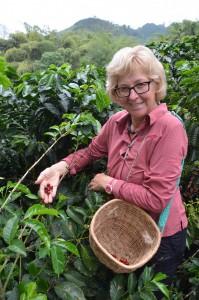 Bei der Kaffee-Ernte