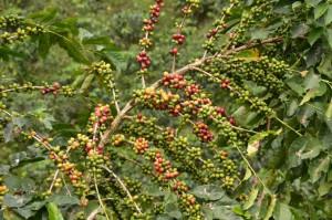 Zweige voller Kaffee-Kirschen