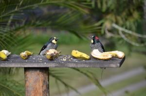 Vogel-Futterstelle mit aufgeschnittenen Bananen