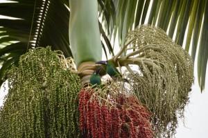 Smaragd-Tukane mögen die roten Palmfrüchte
