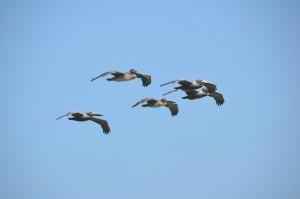 Pelikane sind die dominierende Vogelart