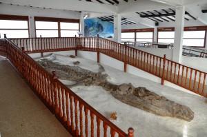 Der El Fósil genannte versteinerte Kronosaurus