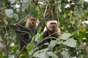 Kapuziner-Affen
