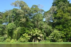 Dichte Vegetation am Ufer der Wasserstraße nach Tortuguero