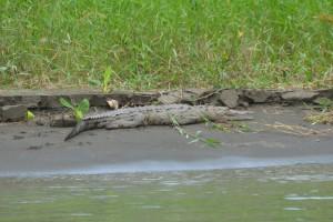 Amerikanisches Krokodil