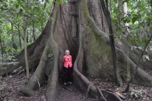 Vor 400-jährigem Ceiba-Baum
