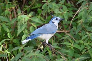 Größte in Costa Rica vorkommende Jay-Art