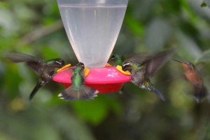 Verschiedene Kolibri-Arten an Futterstelle