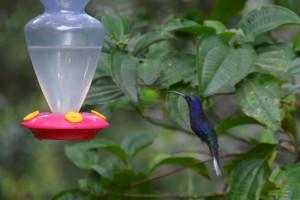 Großer krummschnäbliger Kolibri