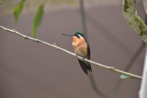 Kleiner orangegefärbter Kolibri