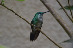 Mittelgroßer grüner Kolibri