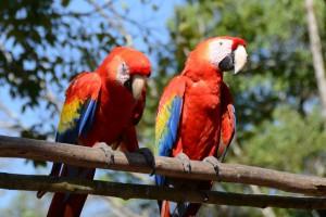 Rote Aras wurden im Tal von Copán wieder angesiedelt.