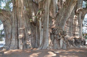 Der Arbol del Tule, eine riesige Mexikanische Sumpfzypresse in Santa Maria del Tule