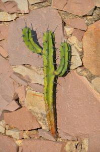 Dieser Kaktus hat sich in einer gemauerten Wand direkt an unserem Übernachtungsplatz in Guanajuato eingenistet.