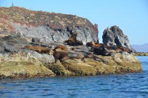 Kalifornische Seelöwen auf der Isla Coronado