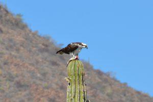 Fischadler mit Beute auf Cardón-Kaktus