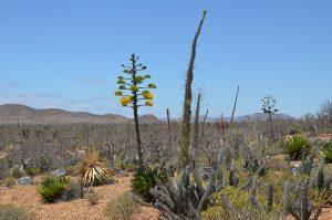 Blühende Agave, Boojum Trees, Kakteen und anderes mehr