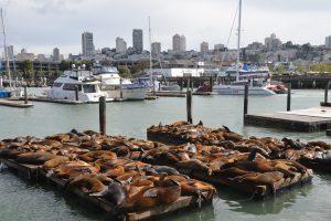 Eine Attraktion, die es bei meinem Besuch 1979 noch nicht gab: Seelöwenkolonie am Pier 39 in Fisherman´s Wharf