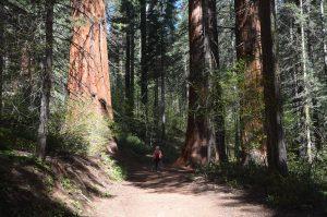 Giant Sequoias in der Merced Grove