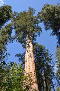 Blickt man an einer Giant Seqoia hoch, kann einem schwindelig werden.
