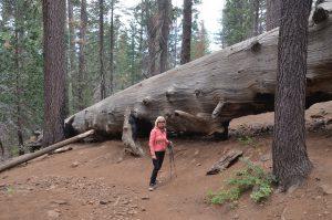 An umgefallenen Giant Sequoias werden einem die gigantischen Baum-Dimensionen besonders bewusst