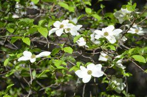 Blühender Dogwood