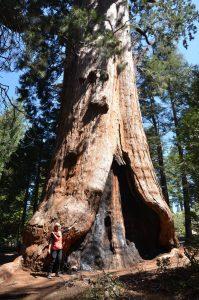 Waldbrände hinterlassen an Sequoias oft ihre Spuren, können ihnen in der Regel aber nichts Ernsthaftes anhaben.