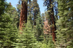 Von Sequoias dominierter Mischwald