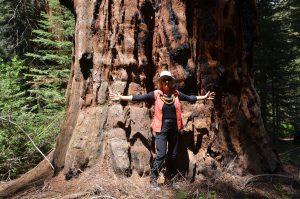 Auch nur mittelgroße Sequoias haben bereits gewaltige Ausmaße (1)