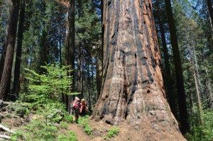 Auch nur mittelgroße Sequoias haben bereits gewaltige Ausmaße (2)