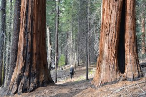 Auch nur mittelgroße Sequoias haben bereits gewaltige Ausmaße (3)