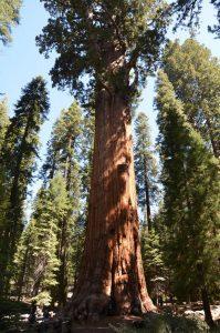 Der General Sherman Tree, der am Stammvolumen gemessen größte Baum der Welt