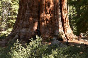 Der Stamm des General Sherman Trees hat gewaltige Ausmaße. Rechts im Hintergrund Hildegard als Größenvergleich