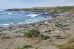 Tausende Nördliche Seeelefanten liegen in der Phase des Fellwechsels ziemlich untätig am Strand.