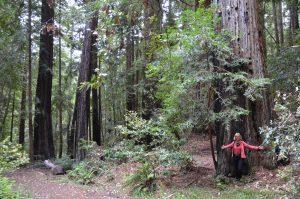 Redwoods sind imposante, schlanke und extrem hoch aufragende Bäume