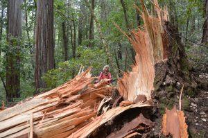 Von Alter, Sturm und/oder Blitz gefällter Redwood