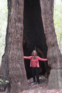 Ein häufiger Anblick: Von Feuer ausgehöhlter Redwood