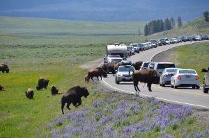 Durch Bison-Herde verursachter Verkehrsstau
