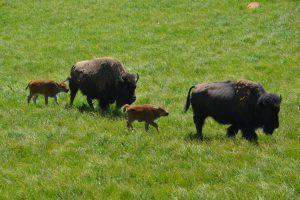 Bison-Mütter mit Kälbern