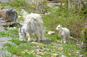 Mountain Goats. Mutter mit Sender um den Hals, Kind ohne
