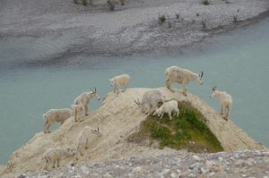 Mountain Goats über dem Athabasca River
