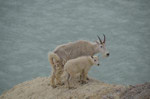 Mountain-Goat-Mutter mit Kind