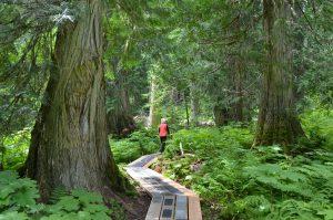 Unterwegs im Ancient Forest, einem vor dem Abholzen geretteten Zedernwald