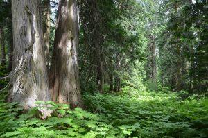 Der Ancient Forest ist ein 800 km vom Meer entfernter kalter Regenwald.