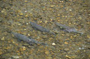 Am späten Nachmittag des 13. Juli 2013: Die Lachse (Chum Salmons) sind eingetroffen.