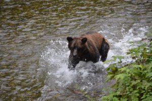 Ebenfalls am späten Nachmittag des 13. Juli 2016: Grizzly bei der Lachsjagd