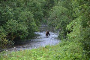 Um 6.10 Uhr erscheint ein großer Grizzly, dreht aber vor der Plattform ab und jagt außerhalb des Sichtfeldes