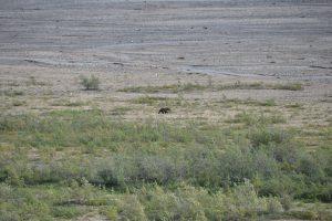 Grizzly am Ufer des Teklanika Rivers. Näher kommen wir im Park nicht an Grizzlies heran.